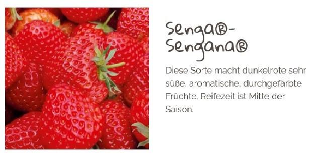 Erdbeere 'Senga-Sengana' T 9,5