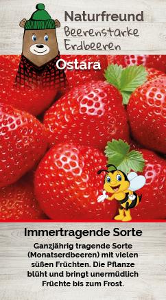 Erdbeere T 9,5 'Ostara'
