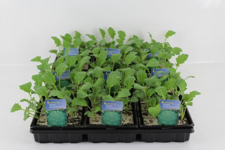 Brokkoli-Jungpflanzen 'Marathon' (12er Schale)