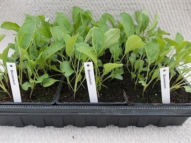 Blumenkohl-Jungpflanzen, weiß (6er Schale)