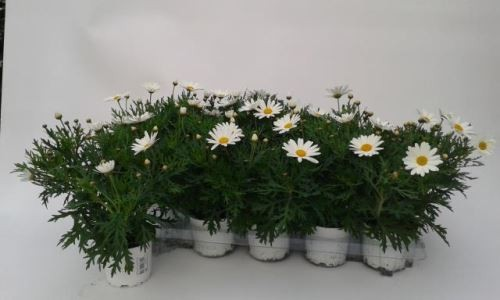 Argyranthemum frutescens T 10,5 'Percussion Giga'