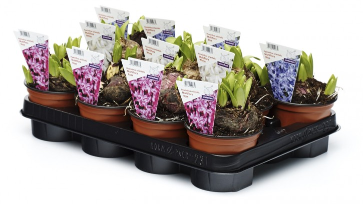 Hyacinthus orientalis 'Multiflora' T 10,5 Mix