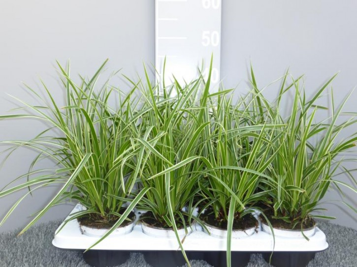 Carex morowii 'Ice Dance' T 12