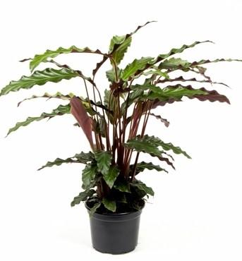 Calathea rufibarba T 12