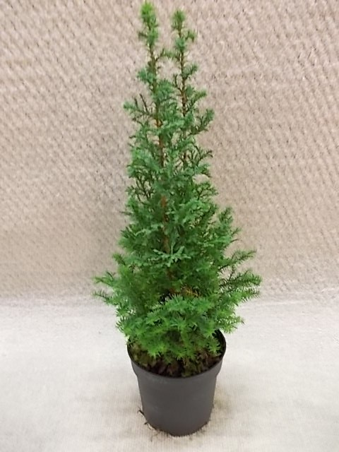 Chamaecyparis thyoides 'Top Point' T 10,5