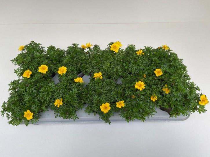 Bidens ferulifolia 'Yellow Charme' T 11