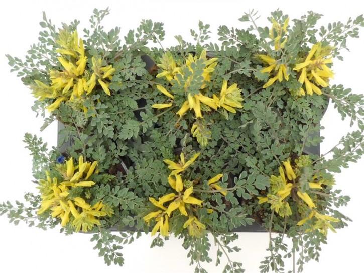 Corydalis wilsonii T 12 (Lerchensporn) • VE 6