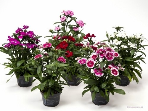 Dianthus chinensis 'Telstar' T 9 MIX