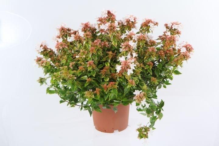 Abelia grandiflora 'Lady Summerdream'  T 19
