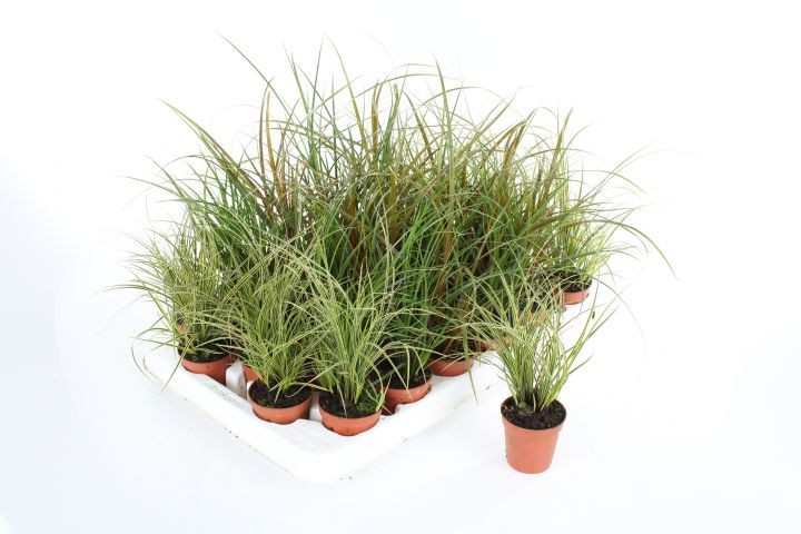 Carex T 5,5 MINI Mix-Sortiment • VE 30