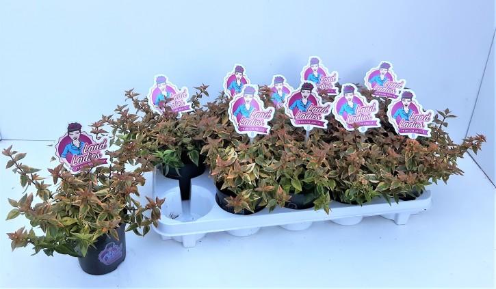 Abelia grandiflora 'Lady Summerdream' T 11