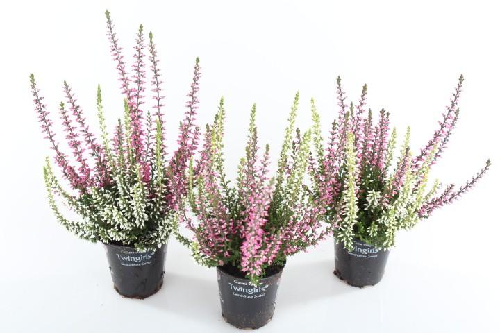 Calluna vulgaris T 6,5 GardenGirls® Mini TWIN