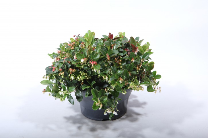 Gaultheria procumbens 'Winterpearls Red Baron' T 23