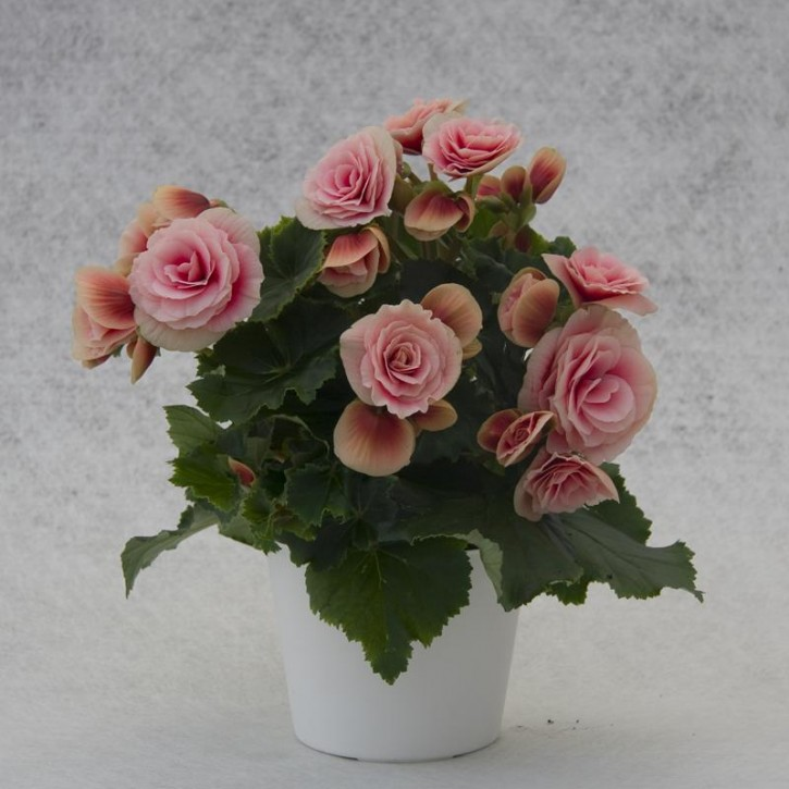 Begonia-Elatior-Hybriden T 12 'Borias'  (rosa-weiß)