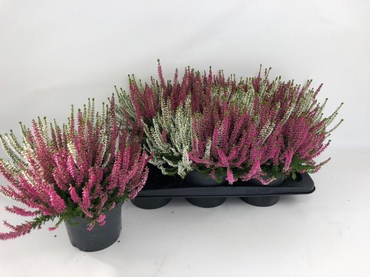 Calluna vulgaris T 17 BeautyLadies® TRIO