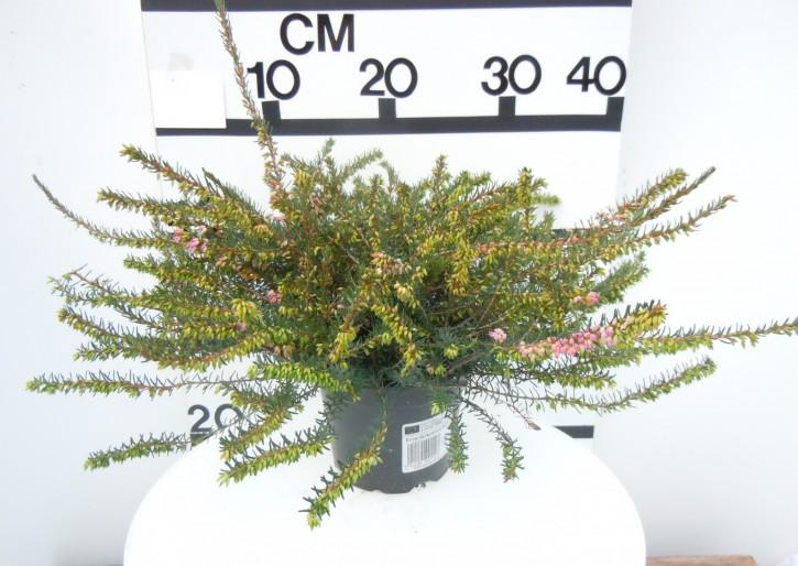 Erica darleyensis T 12 'Kramers Rote' (rot) 20/23