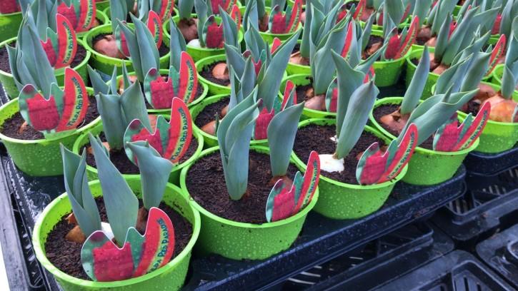 Tulipa-Hybriden T 11 (3ppp) ROT grüner Topf • VE 11