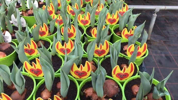 Tulipa-Hybriden T 11 (3 ppp) FLAIR grüner Topf