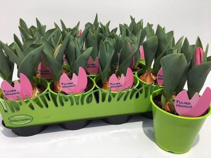 Tulipa-Hybriden T 11 (3ppp) ROSA grüner Topf • VE 11