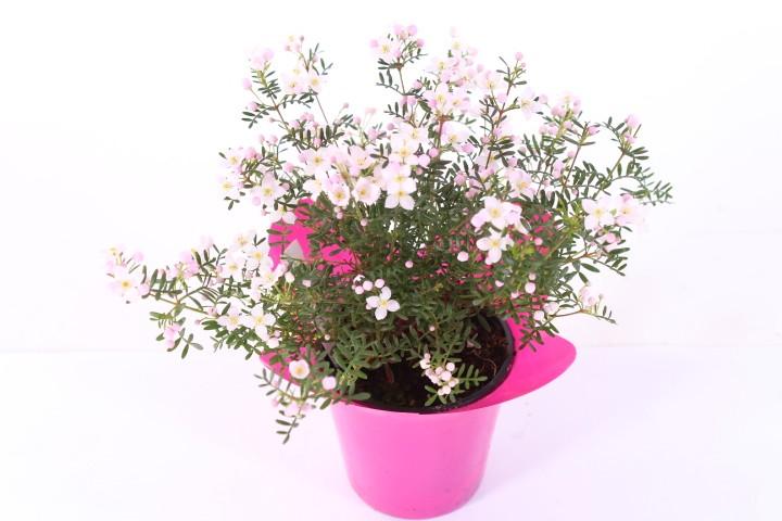 Boronia anemonifolia 'Pink Star' T 10