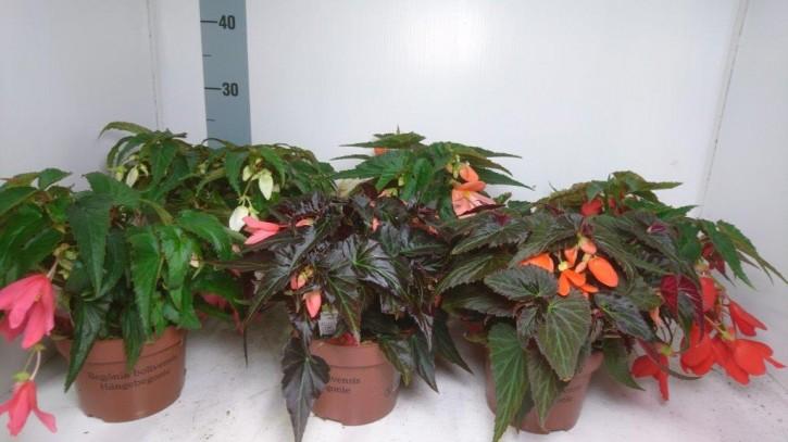 Begonia boliviensis 'Summerwings' T 12