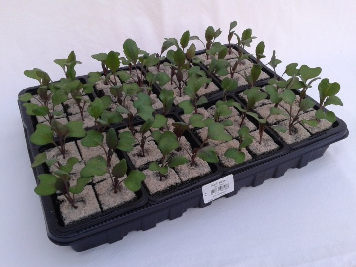 Kohlrabi BLAU Jungpflanzen (6er Schale)