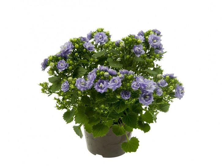 Campanula haylodgensis T 10,5 'Blue like Mee' • VE 12