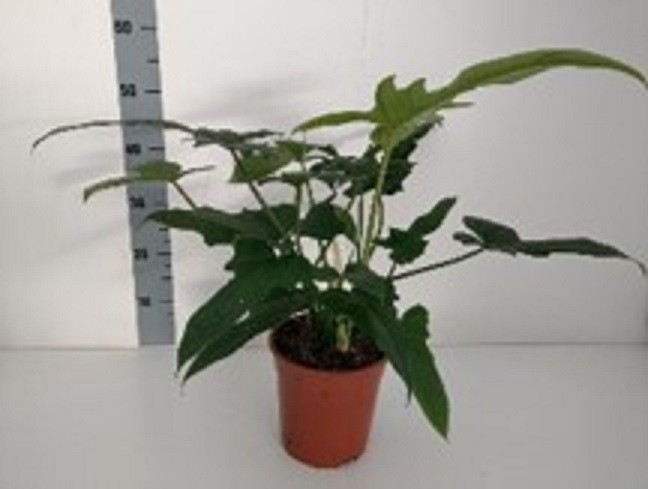 "Philodendron ""Nadja' T 19"