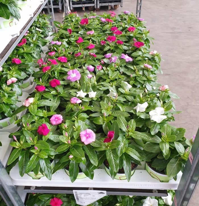 Catharanthus roseus T 12 MIX