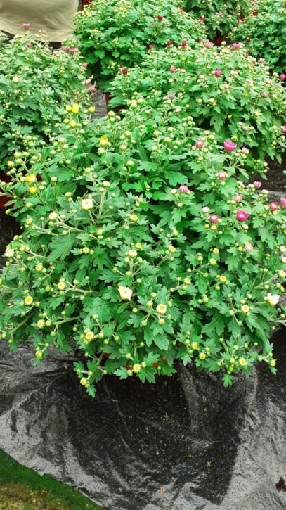 Dendranthema-Grandiflora-Hybrid GardenMums  T 21 TRIO HQ
