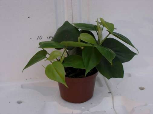 Philodendron scandens T 10