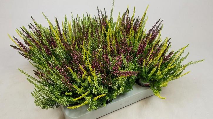 Calluna vulgaris T 6,5 GardenGirls® Mini TRIO