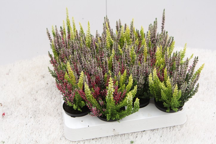 Calluna vulgaris T 6,5 Mini BEAUTY LADIES® TRIO