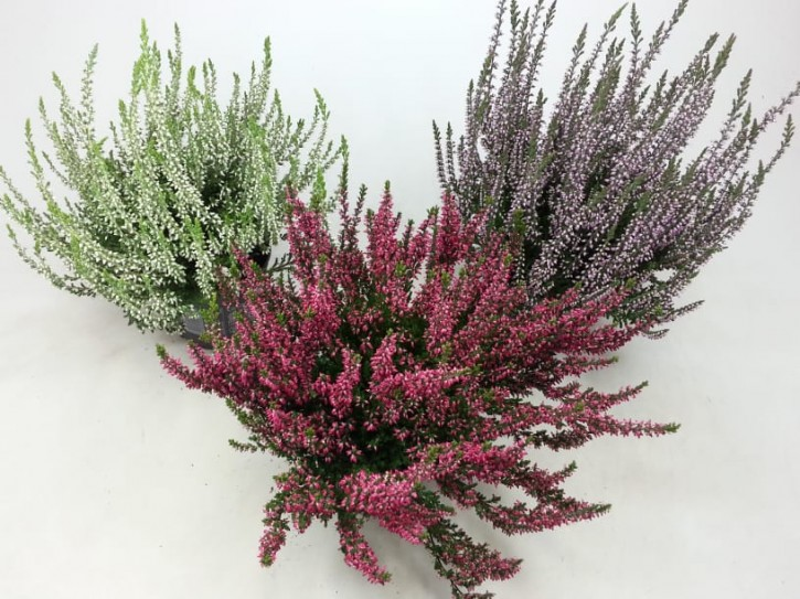 Calluna vulgaris T 11 GardenGirls® ROSA