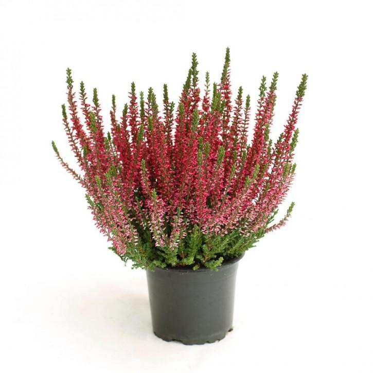 Calluna vulgaris T 11 GardenGirls® ROT
