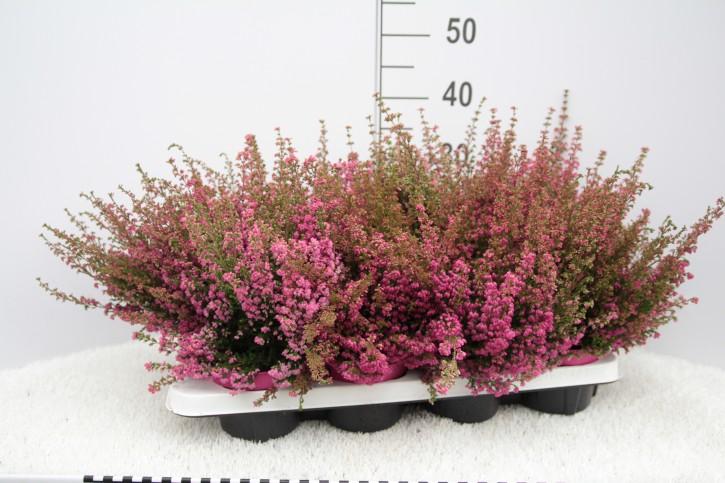 Erica gracilis T 12 MisterLine Ø 20/23 ROSA