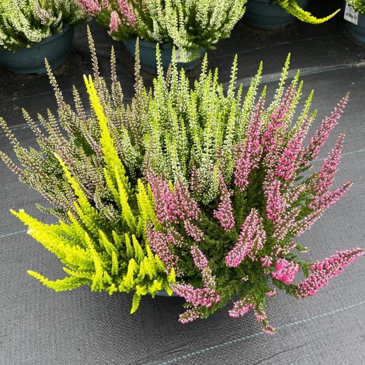 Calluna vulgaris T 23 BeautyLadies QUATTRO Schale