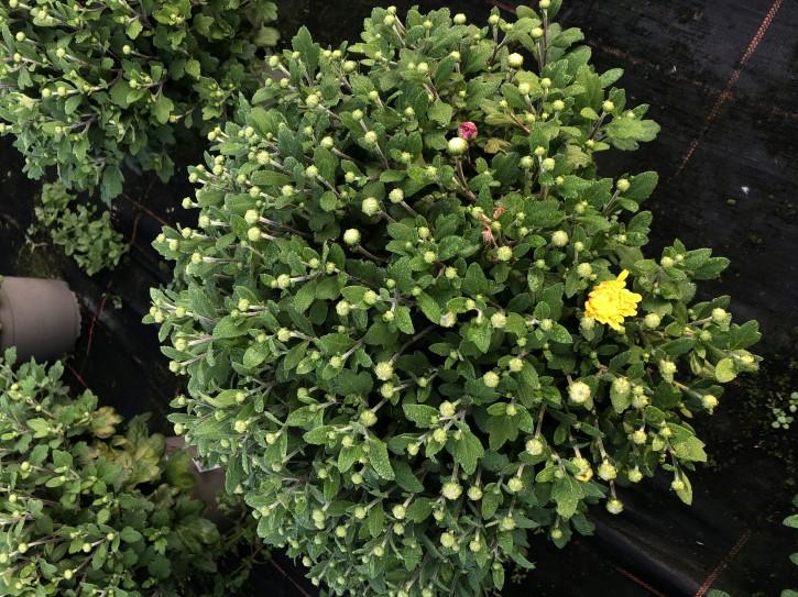 Dendranthema-Grandiflora-Hybrid T 19 Trio