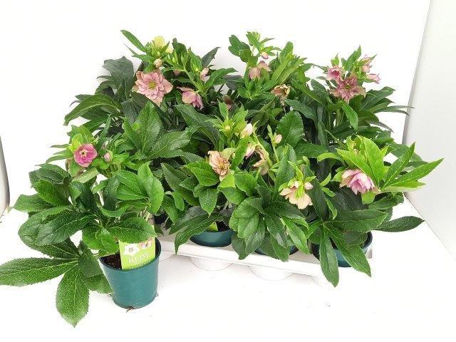 Helleborus orientalis 'Pretty Ellen' T 12