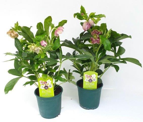 Helleborus orientalis 'Pretty Ellen' T 14