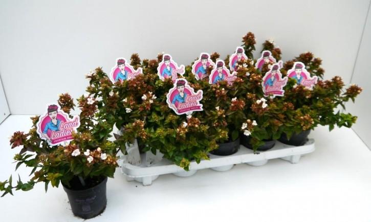 Abelia grandiflora 'Little Lady' T 11