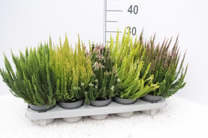 Calluna vulgaris Skyline®  MIX T 10,5