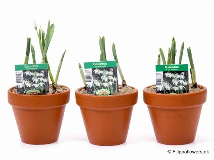 Galanthus nivalis T 10 (5 ppp) Tontopf