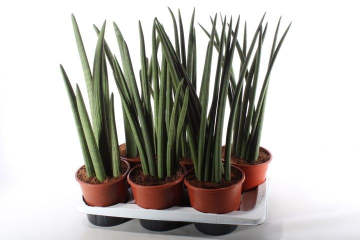 Sansevieria cylindrica, T 17 MIX