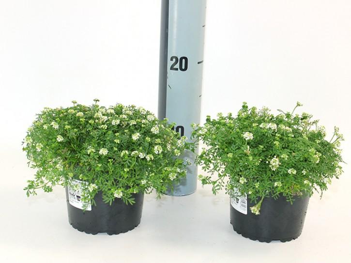 Hutchinsia alpina T 13 • VE 8