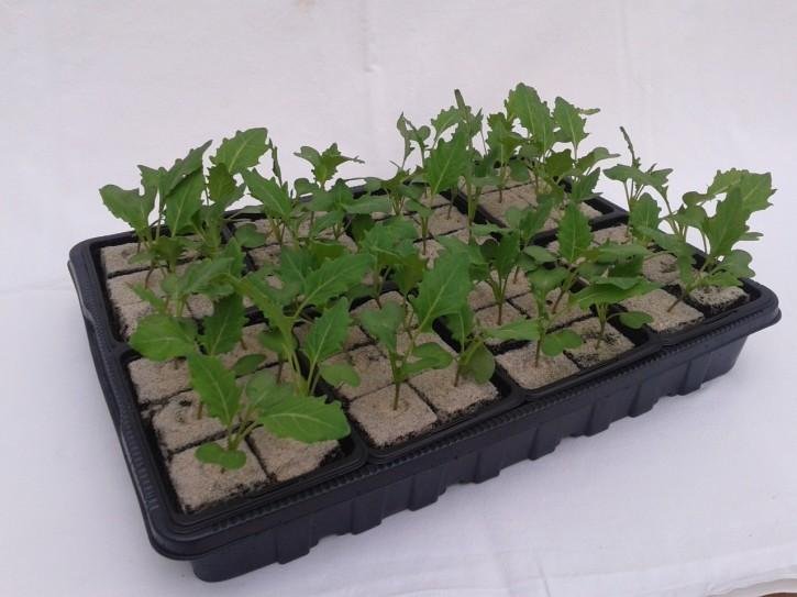 Kohlrabi WEISS Jungpflanzen (6er Schale)
