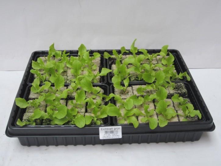 Eichlaubsalat GRÜN Jungpflanzen (12er Schale)
