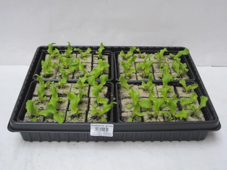 Bataviasalat GRÜN Jungpflanzen (12er Schale)