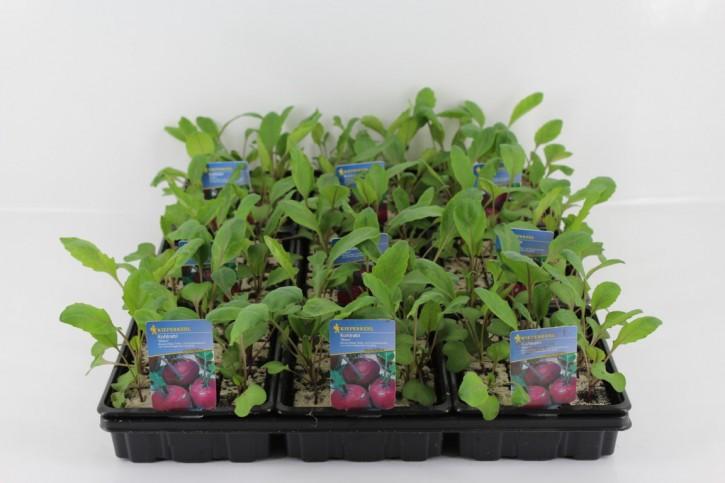 Kohlrabi BLAU-Jungpflanzen 'Azur Star' (12er Schale)