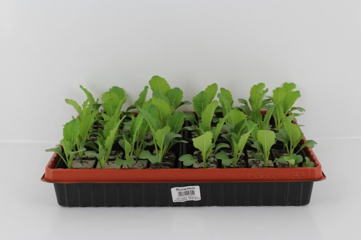 Blumenkohl-Jungpflanzen (12er Schale)